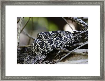 Eastern Diamondback-1 Framed Print