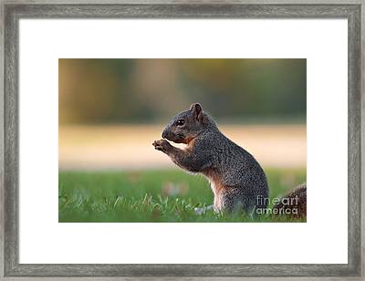 Eastern Fox Squirell Framed Print by Brandon Alms