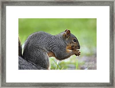 Eastern Fox Squirrel Framed Print by Brandon Alms