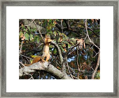 Eastern Fox Squirrel Framed Print by Jack R Brock
