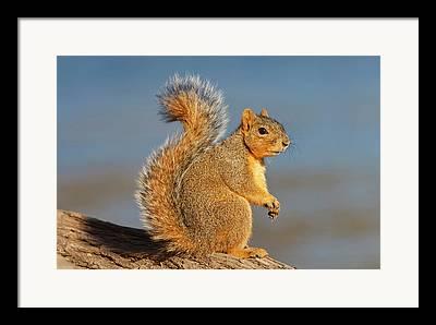 Eastern Fox Squirrel Framed Prints