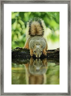 Eastern Fox Squirrel (sciurus Niger Framed Print