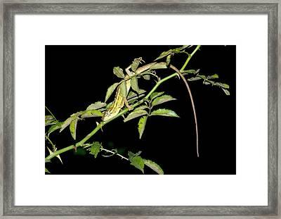 Eastern Garden Lizard Roosting Framed Print by K Jayaram