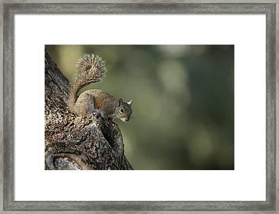 Eastern Gray Squirrel, Or Grey Squirrel Framed Print