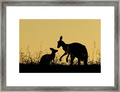 Eastern Grey Kangaroo And Joey Mount Framed Print