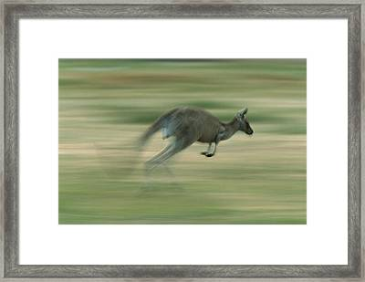 Eastern Grey Kangaroo Female Hopping Framed Print by Ingo Arndt