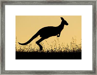 Eastern Grey Kangaroo Hopping At Sunset Framed Print