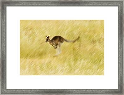 Eastern Grey Kangaroo Hopping Framed Print by Sebastian Kennerknecht