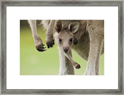 Eastern Grey Kangaroo Joey Peering Framed Print
