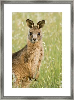 Eastern Grey Kangaroo Juvenile Mount Framed Print by Sebastian Kennerknecht