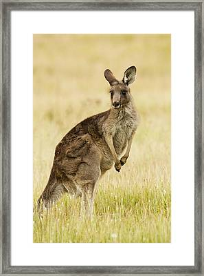 Eastern Grey Kangaroo Mount Taylor Framed Print by Sebastian Kennerknecht
