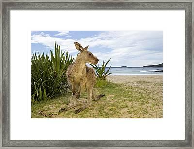 Eastern Grey Kangaroo Pebbly Beach Framed Print by Sebastian Kennerknecht