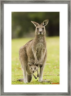 Eastern Grey Kangaroo With Joey Peering Framed Print