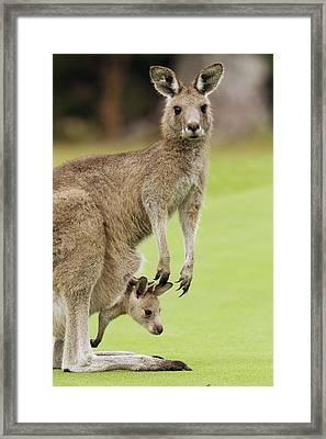 Eastern Grey Kangaroo With Joey Framed Print