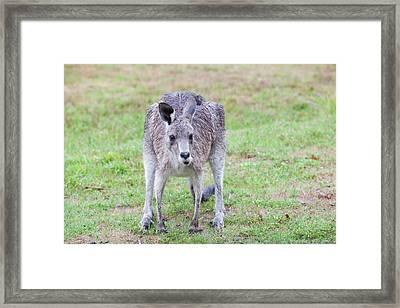 Eastern Grey Kangaroos Grazing Framed Print