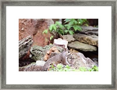 Eastern Grey Squirrel  Framed Print by Stephanie Frey