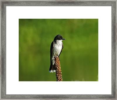 Eastern Kingbird Framed Print by Ernie Echols