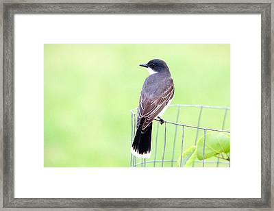 Eastern Kingbird Looking For Food 2 Framed Print by Roy Williams