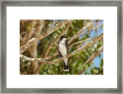 Eastern Kingbird Framed Print by Rich Leighton