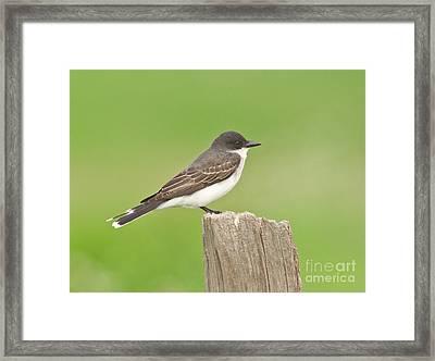 Eastern Kingbird Framed Print by Robert Frederick