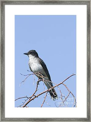Eastern Kingbird Framed Print by William H. Mullins
