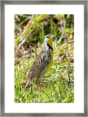 Eastern Meadowlark Framed Print by Anthony Mercieca