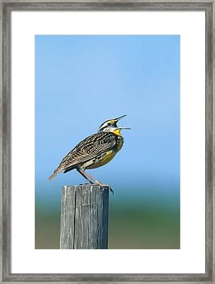 Eastern Meadowlark Framed Print by Paul J. Fusco