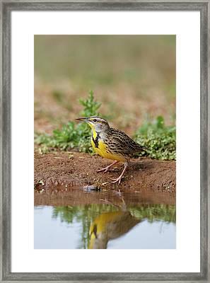Eastern Meadowlark (sturnella Magna Framed Print