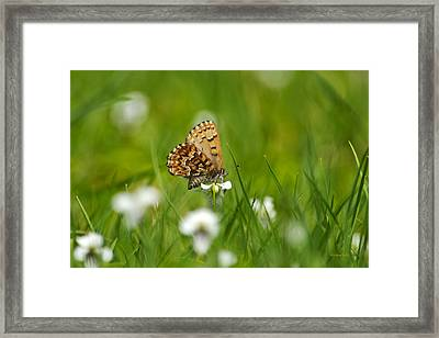 Eastern Pine Elfin Butterfly Framed Print by Christina Rollo