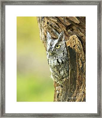 Eastern Screech Owl Hiding Out In A Hollow Tree Framed Print by Inspired Nature Photography Fine Art Photography