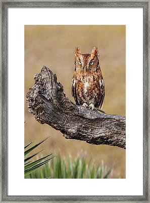 Eastern Screech Owl (otus Asio Framed Print