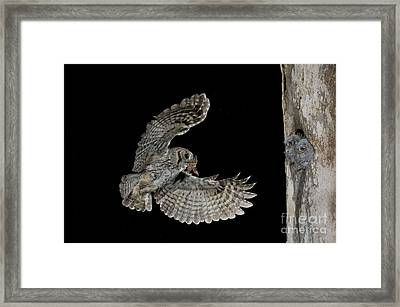 Eastern Screech Owl With Moth Framed Print