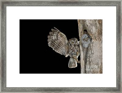 Eastern Screech Owls At Nest Framed Print by Anthony Mercieca