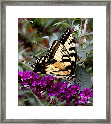 Framed Print featuring the photograph Eastern Tiger Butterfly by James C Thomas