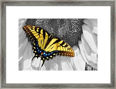 Eastern Tiger Swallow Tail  Framed Print