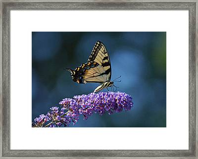 Eastern Tiger Swallowtail Butterfly Framed Print by Sandy Keeton