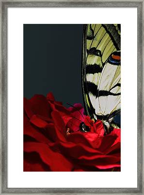 Eastern Tiger Swallowtail Framed Print by Cody Arnold