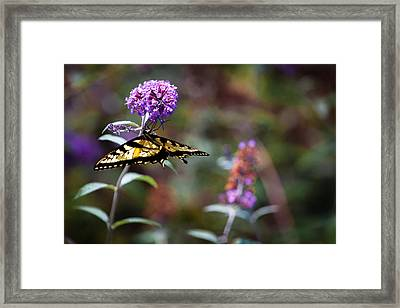 Eastern Tiger Swallowtail On Budleia Framed Print by Rob Travis