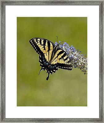 Eastern Tiger Swallowtail On Butterfly Bush Framed Print by Lara Ellis