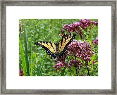 Eastern Tiger Swallowtail On Joe Pye Weed Framed Print