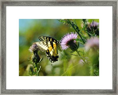 Eastern Tiger Swallowtail On Thistle Framed Print