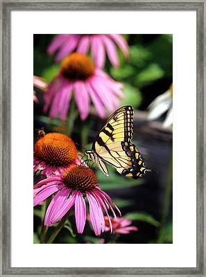 Eastern Tiger Swallowtail (papilio Framed Print by Richard and Susan Day