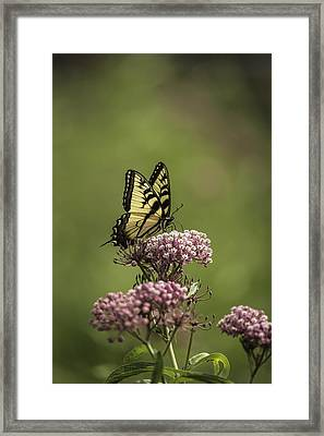 Eastern Tiger Swallowtail Framed Print by Thomas Young