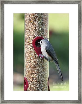 Eastern Tufted Titmouse  Framed Print