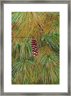 Eastern White Pine (pinus Strobus) Framed Print by Dr. Nick Kurzenko