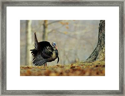 Eastern Wild Turkey (meleagris Framed Print by Richard and Susan Day