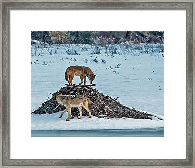 Eastern Wolves Framed Print by Steve Dunsford