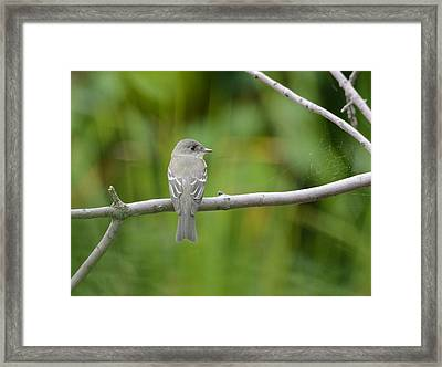 Eastern Wood Pewee Framed Print