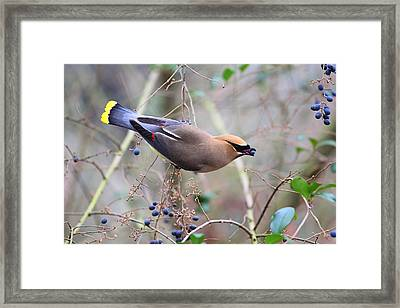 Eating Berries Framed Print by Katherine White