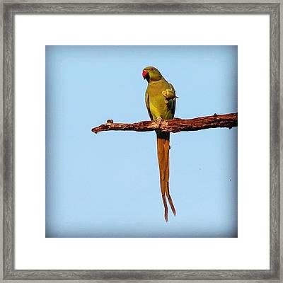 Parakeet Eating Fruit  Framed Print